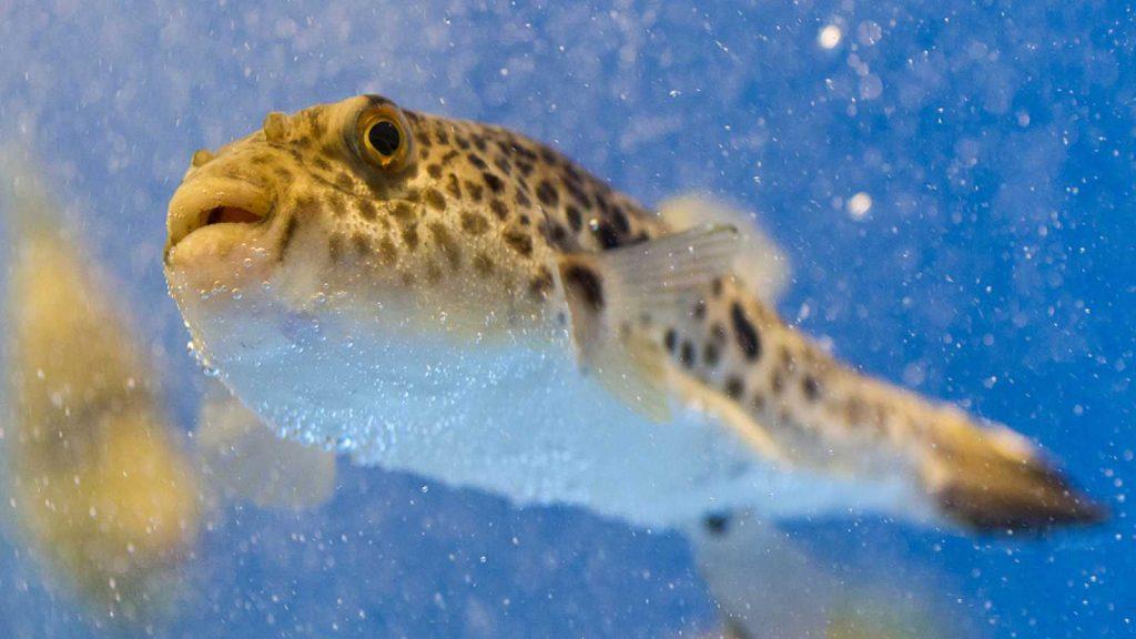 Pufferfish WeFish