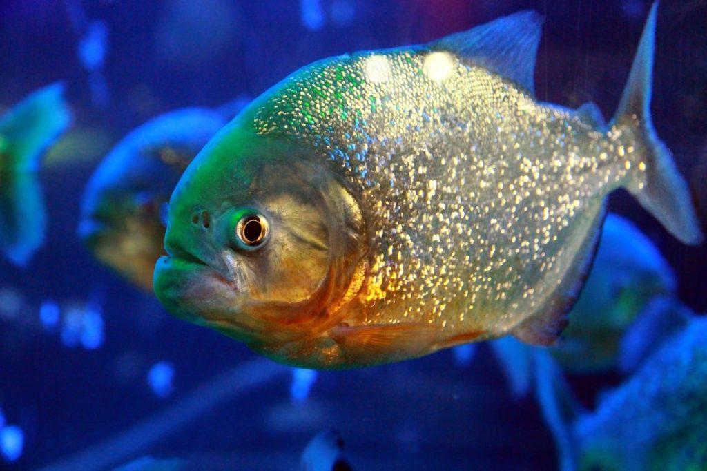 Най-опасните риби в света
