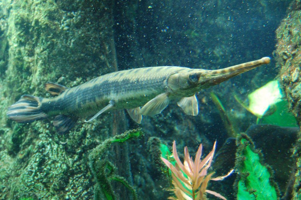 Longnose Gar WeFish