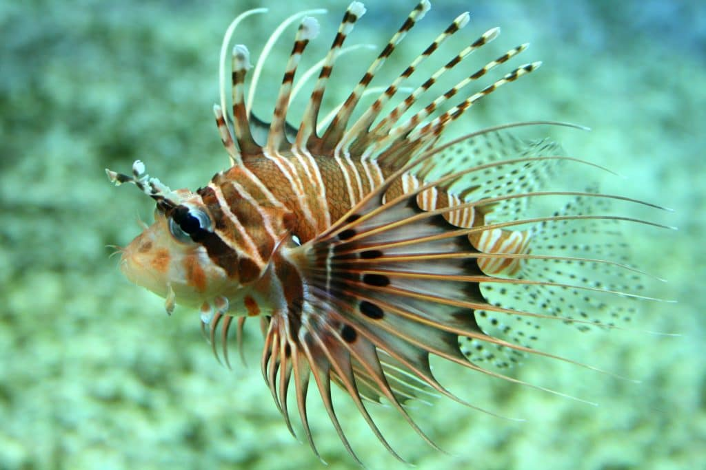 Spotfin lionfish WeFish